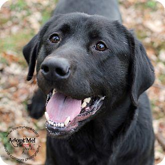 Labrador Retriever Mix Dog for adoption in Lyons, New York - Zane