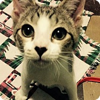 Domestic Shorthair Kitten for adoption in Barrington, New Jersey - Cupid