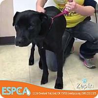 Adopt A Pet :: Zeplin - Enid, OK