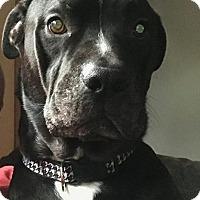Adopt A Pet :: Vince - Dublin, OH