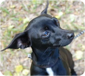 Miniature Pinscher/Rat Terrier Mix Dog for adoption in Vero Beach, Florida - Tank