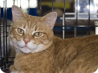 Domestic Shorthair Cat for adoption in New Port Richey, Florida - Cassidy