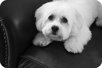 Bichon Frise Mix Dog for adoption in Gig Harbor, Washington - Leo