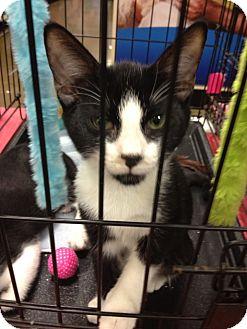 Domestic Mediumhair Cat for adoption in Columbus, Georgia - Oscar