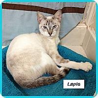 Adopt A Pet :: Lapis - Miami, FL