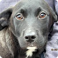 Adopt A Pet :: Bracken - Germantown, MD