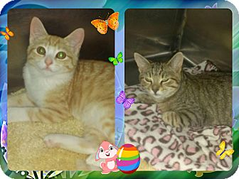 Domestic Shorthair Cat for adoption in Corinth, New York - Padgett Kittens