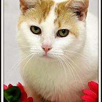 Domestic Shorthair Cat for adoption in Owenboro, Kentucky - CHILI!