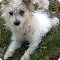 Adopt A Pet :: Carlisle, cutest character! - Snohomish, WA