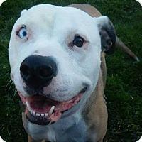 Adopt A Pet :: Summer June - fort wayne, IN