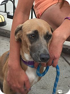 Beagle/Dachshund Mix Dog for adoption in Littleton, Colorado - LUCY