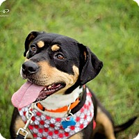 Rottweiler Mix Dog for adoption in Springfield, Missouri - Mia