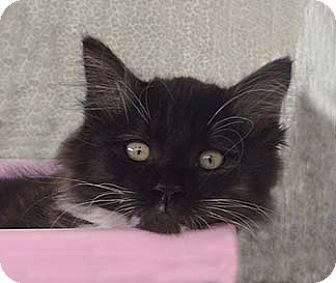 Domestic Longhair Kitten for adoption in Tiburon, California - Mitzie
