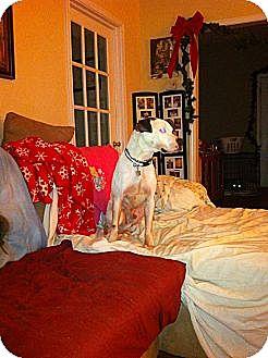 Pointer/Labrador Retriever Mix Dog for adoption in Carrollton, Georgia - TJ Snow
