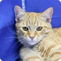 Domestic Shorthair Cat for adoption in Winston-Salem, North Carolina - Bryson