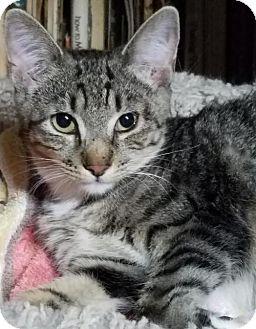 Domestic Shorthair Kitten for adoption in Philadelphia, Pennsylvania - Johanna