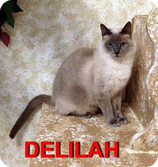Siamese Cat for adoption in Alvin, Texas - Delilah