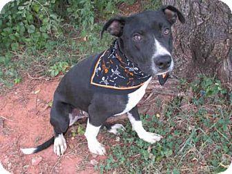 Pit Bull Terrier Dog for adoption in Oklahoma City, Oklahoma - DEXTER