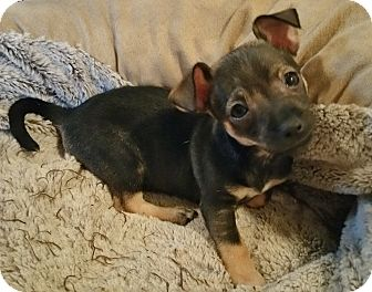Chihuahua Mix Puppy for adoption in Bridgeton, Missouri - Killian-Fostered in KC