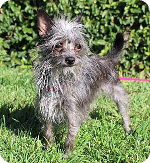 Yorkie, Yorkshire Terrier/Terrier (Unknown Type, Medium) Mix Dog for adoption in Modesto, California - Gidget