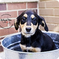 Adopt A Pet :: Morticia (Addams Family Litter - Mooresville, NC