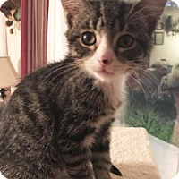 Domestic Shorthair Cat for adoption in Harrisonburg, Virginia - Climby
