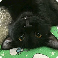 Domestic Mediumhair Cat for adoption in Rochester, Michigan - Elvis