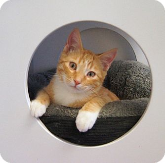 Domestic Shorthair Kitten for adoption in Colorado Springs, Colorado - France