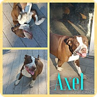 Adopt A Pet :: Axel - Garden City, MI