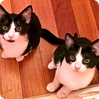 Domestic Shorthair Kitten for adoption in Brooklyn, New York - Will and Grace love EVERYONE