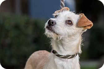 Jack Russell Terrier/Norfolk Terrier Mix Puppy for adoption in San Diego, California - Blyth