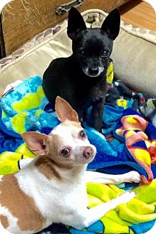 Chihuahua Mix Dog for adoption in Corning, California - NO FEE - Mookie & Pablo