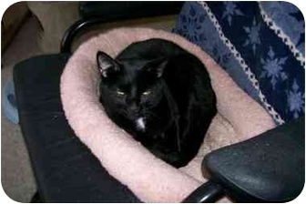 Domestic Shorthair Cat for adoption in Scottsdale, Arizona - Max