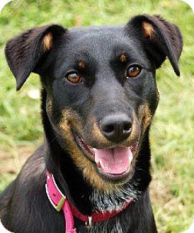 Doberman Pinscher/Australian Cattle Dog Mix Puppy for adoption in ...