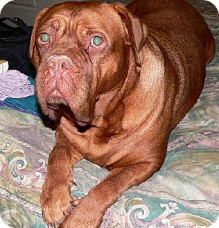 Dogue de Bordeaux Dog for adoption in Phoenix, Arizona - Leila- Courtesy posting