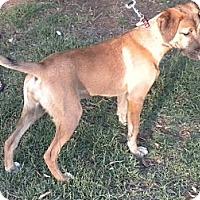 Adopt A Pet :: Gigi - Childress, TX