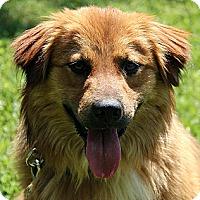 Adopt A Pet :: Gavan - Brattleboro, VT