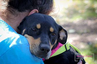Rottweiler/Shepherd (Unknown Type) Mix Dog for adoption in Plano, Texas - Bambi