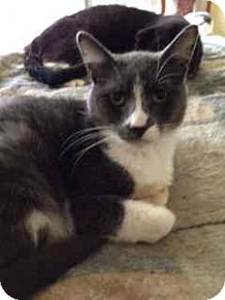 Domestic Shorthair Cat for adoption in Alamo, California - Muffin