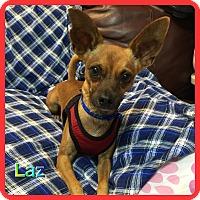 Adopt A Pet :: Laz - Hollywood, FL