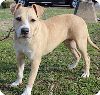 Labrador Retriever/Pit Bull Terrier Mix Dog for adoption in Brownsboro, Alabama - Noelle