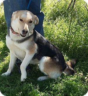German Shepherd Dog/Siberian Husky Mix Dog for adoption in Carthage, North Carolina - Judy