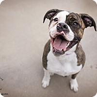 Adopt A Pet :: Sheprei - Manhattan, KS