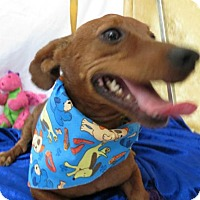 Dachshund Mix Dog for adoption in Pipe Creek, Texas - Radar