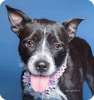 Terrier (Unknown Type, Medium) Mix Dog for adoption in Seattle, Washington - Addie