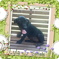 Adopt A Pet :: Lyla in CT - Manchester, CT