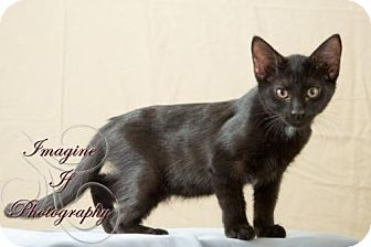 Domestic Shorthair Cat for adoption in Crescent, Oklahoma - Inky