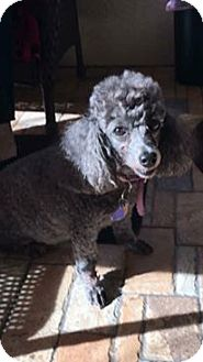 Poodle (Miniature) Dog for adoption in Brooksville, Florida - Angel