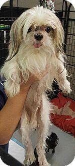 Shih Tzu Dog for adoption in Mooresville, North Carolina - Dopey