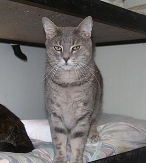 Domestic Shorthair Cat for adoption in New Bern, North Carolina - Bullet